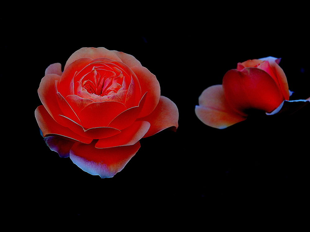 rose by sonmez