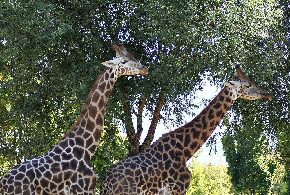 giraffe by sonmez