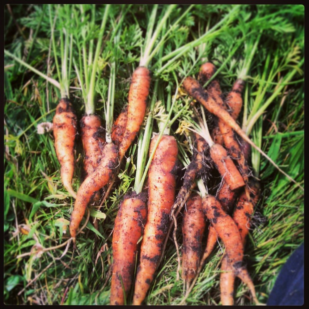 Le Carrote by Phaedra