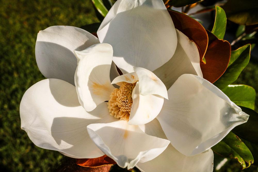 /// Magnolia \\\ by pabloavila100046