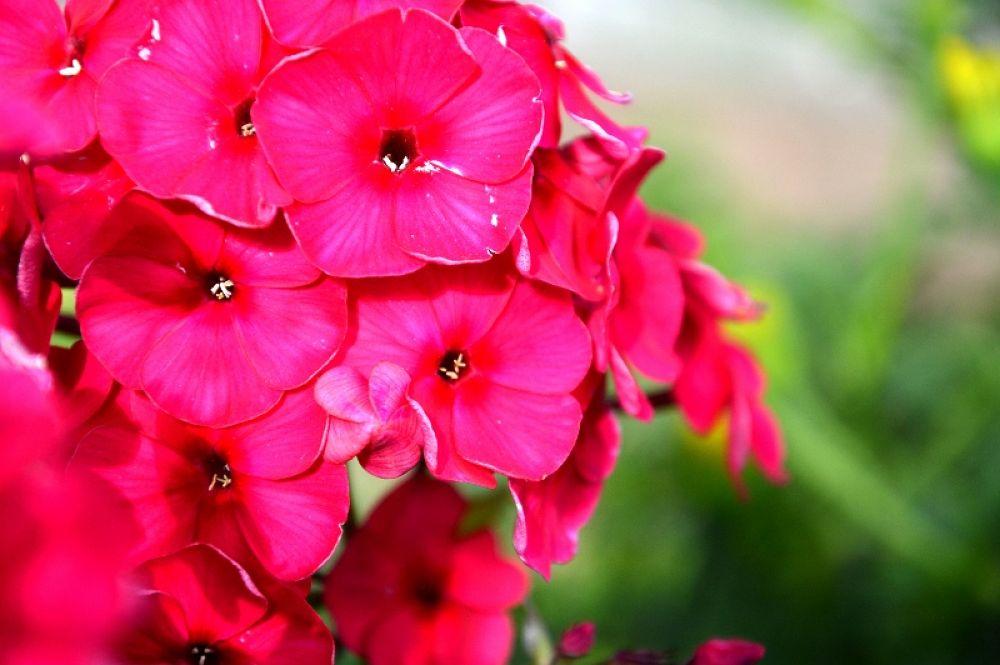 pink... by elena eryomenko