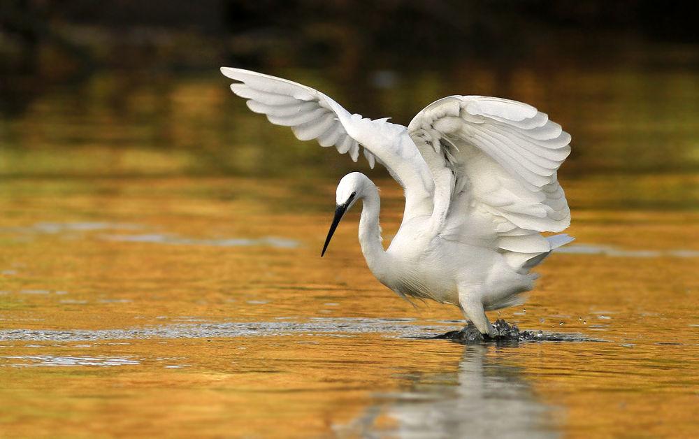 little egret by mordi mor