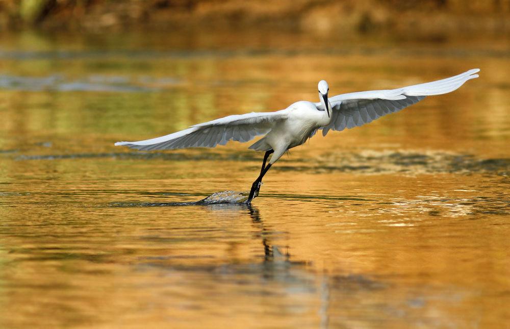 little egret dancing by mordi mor