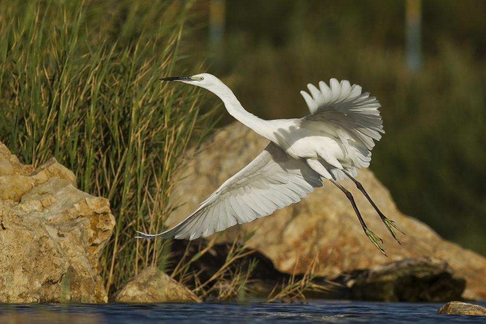 llittle egret taking off by mordi mor