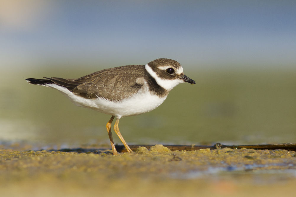 Photo in Animal #common ringed plover #water #bird #nature