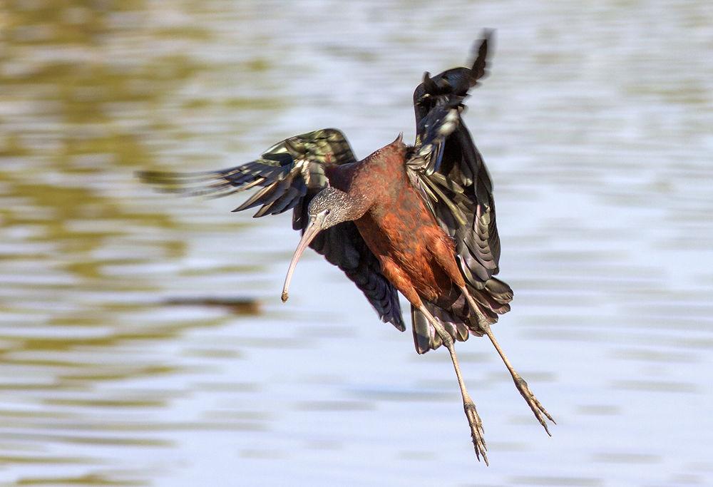 Glossy Ibis -  tough landing by mordi mor
