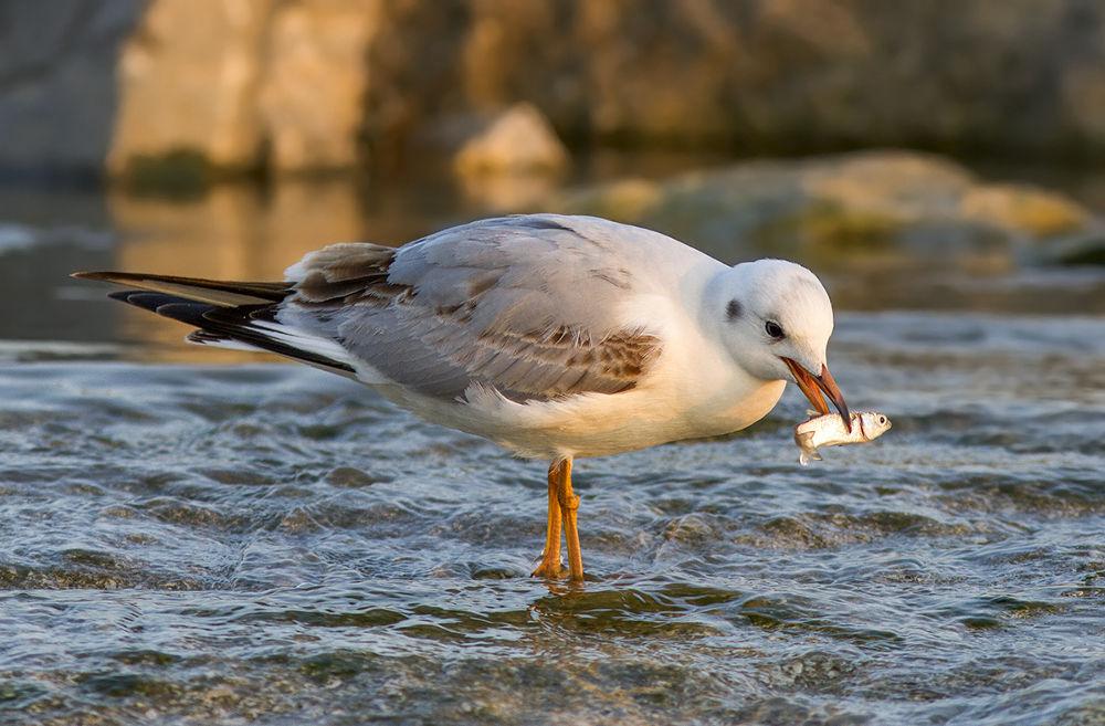 Photo in Animal #seagull #nature #wild #sea #water #bird