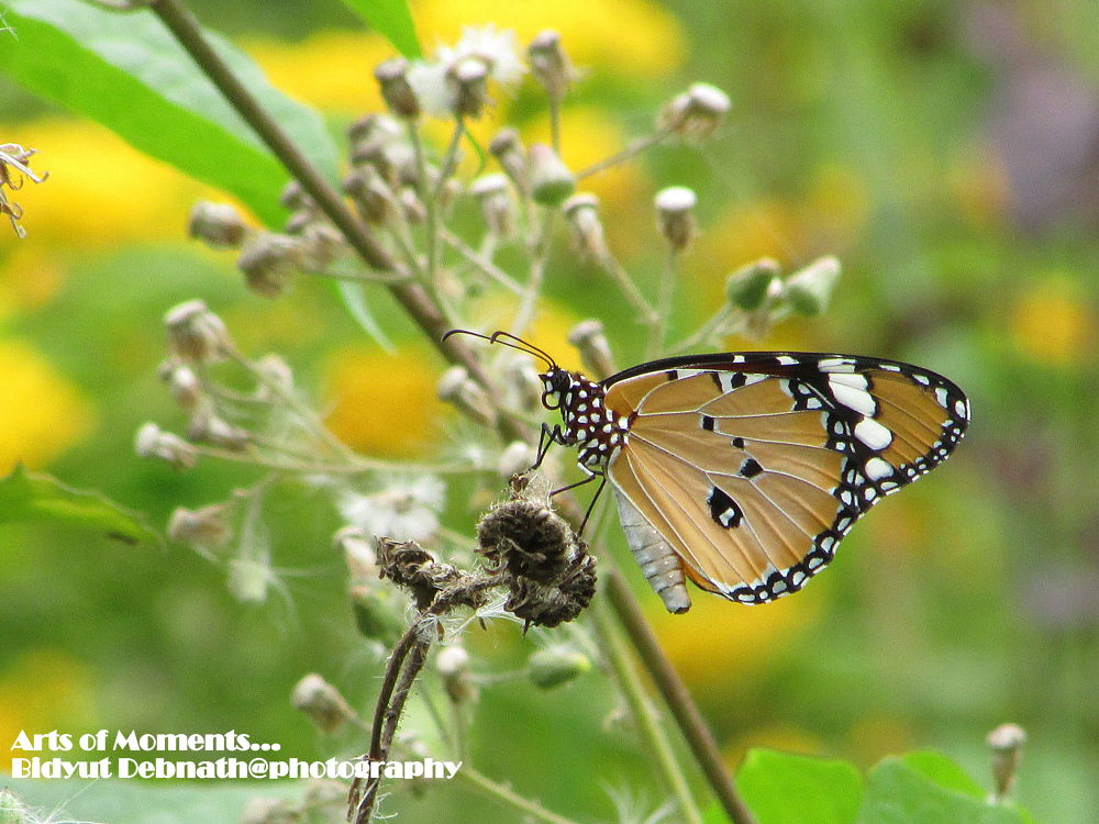 Butterfly_9 by dipnath95