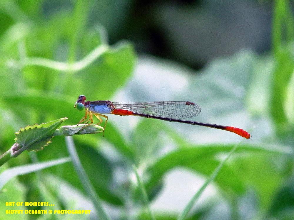 Bi-Coloured Damselfly by dipnath95