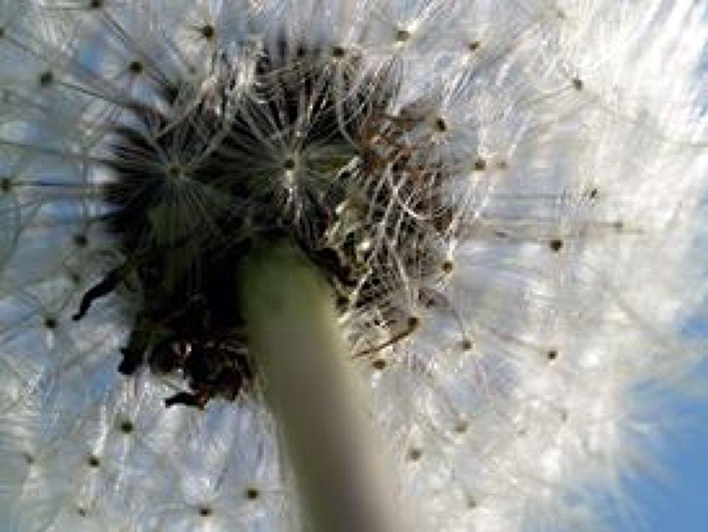 Dandelion by Lease