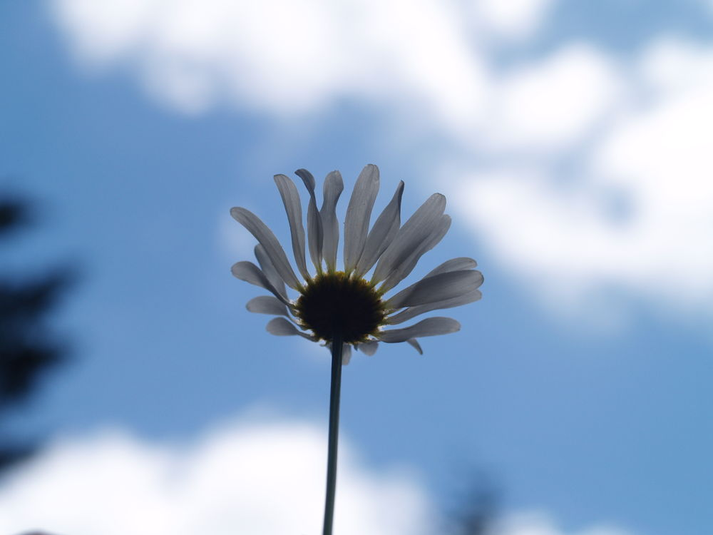 Daisy by Lease