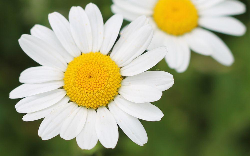 daisy by laurawozny9