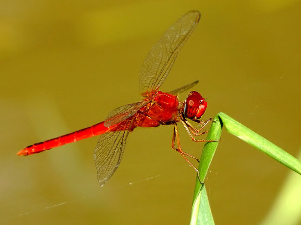 red dragonfly by volkswagonX