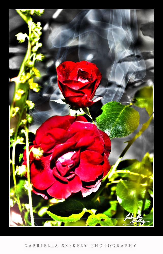 fiery roses by Gabriella Szekely