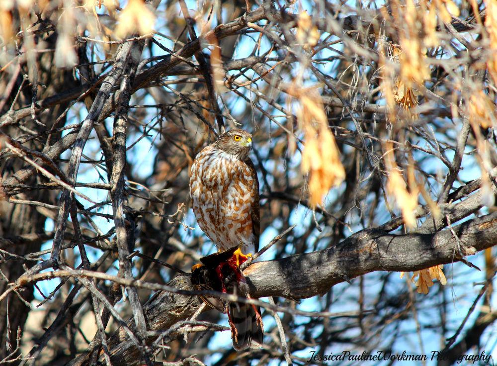 Cooper's Hawk by PrimalOriginsPhotography