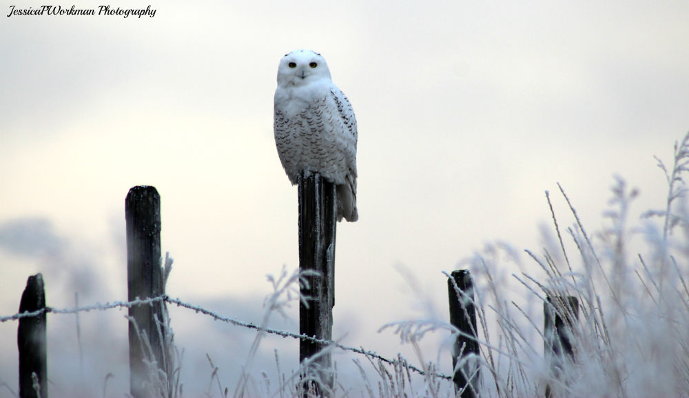 Snowy Owl by PrimalOriginsPhotography