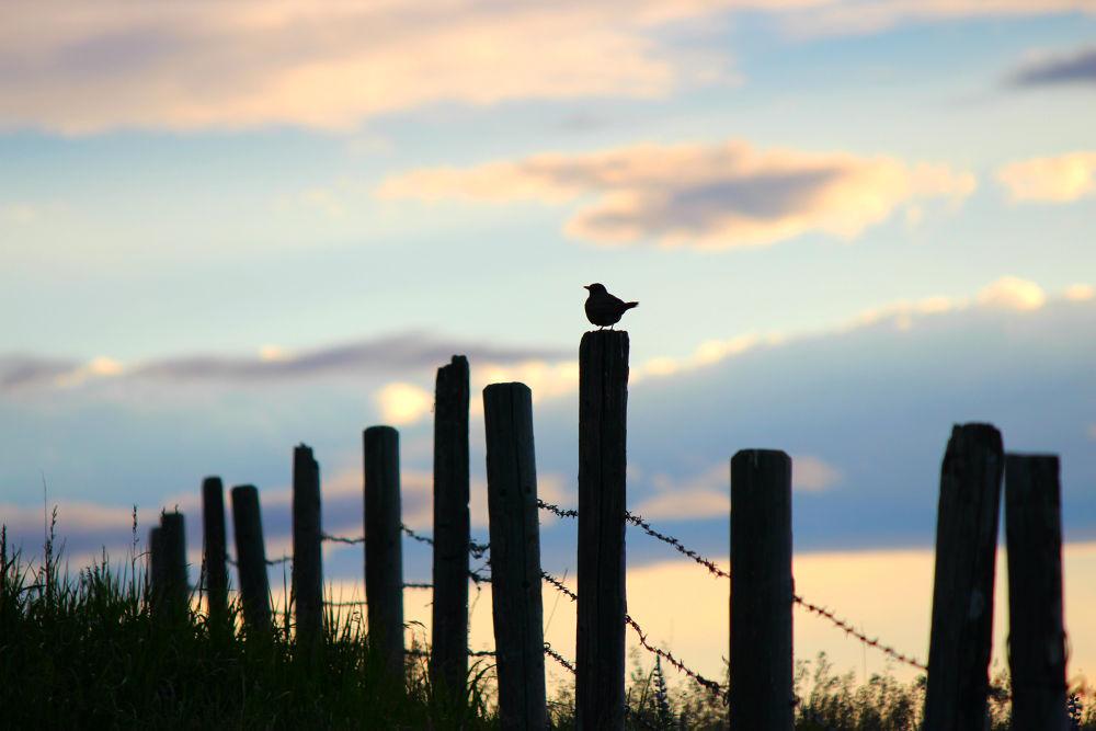 Photo in Animal #meadowlark #fenceline #sunset #purple #blue #barbed wire #bird #silhouette #prairies #animal #animals #birds #nature #wildlife #outdoors #outside #wild