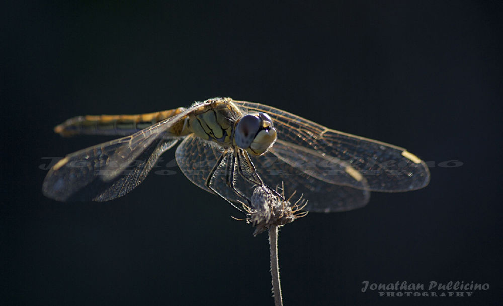 Dragon Fly by Jonathan Pullicino