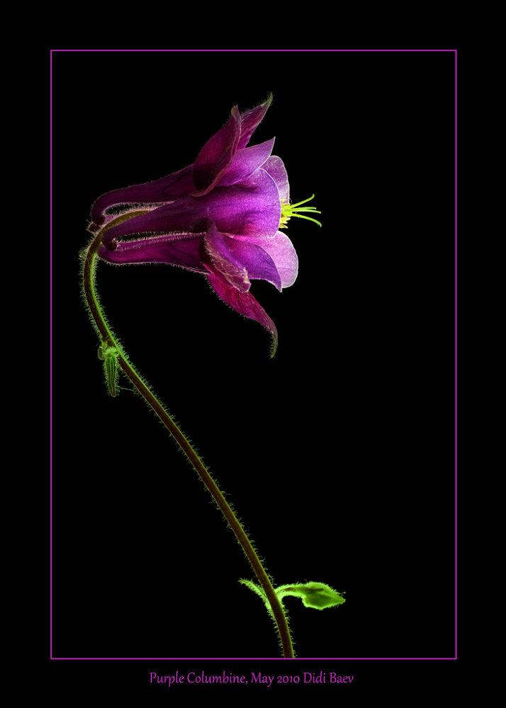 Purple Columbine by didibaev