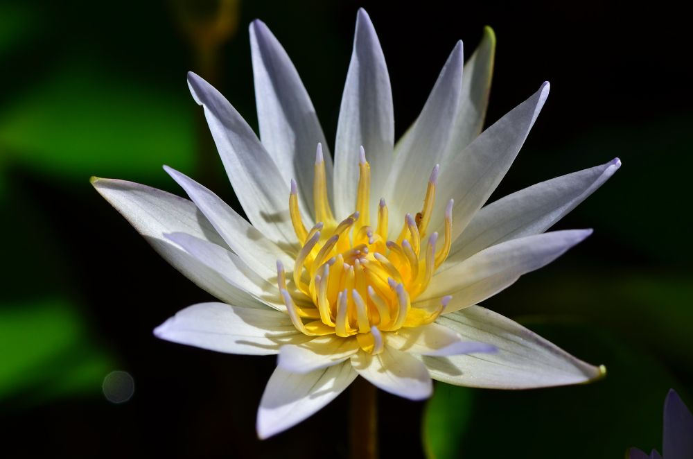 Waterlily by amylim718