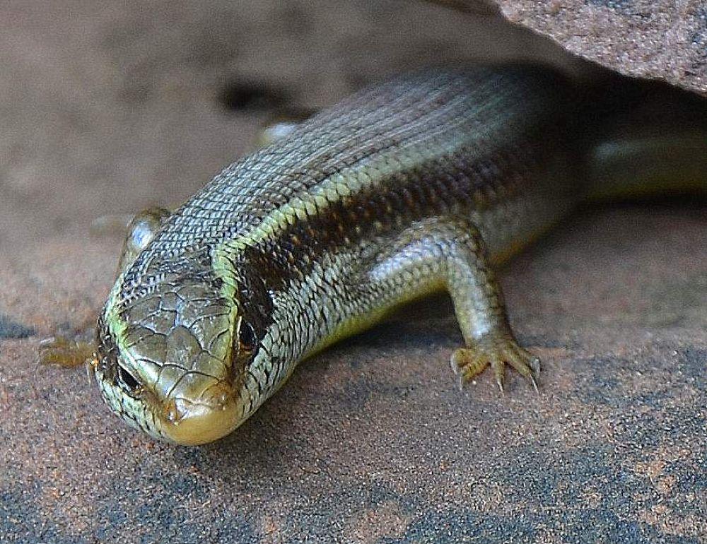 lizard by mahendravictor