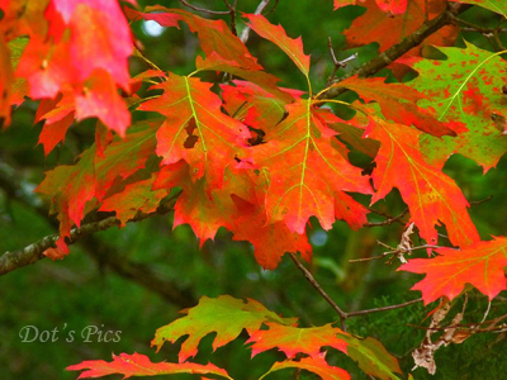 Oak leaves by dotfischer