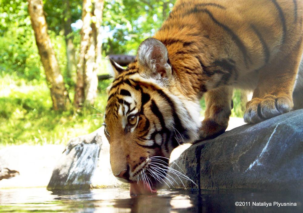 Tiger Eye by Nataliya Plyusnina