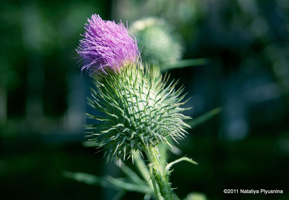 Soft Thorns by Nataliya Plyusnina