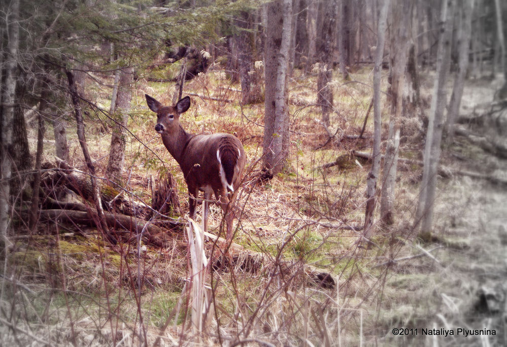 Photo in Animal #pennsylvania #nature #animal #wild #life #forest #woods #trees #grass #winter #cold #deer #herbivore