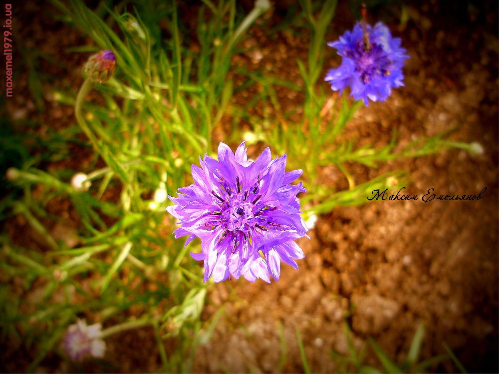 magic flowers.. by maxemelianov