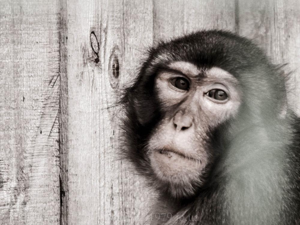 sad monkey by maxemelianov