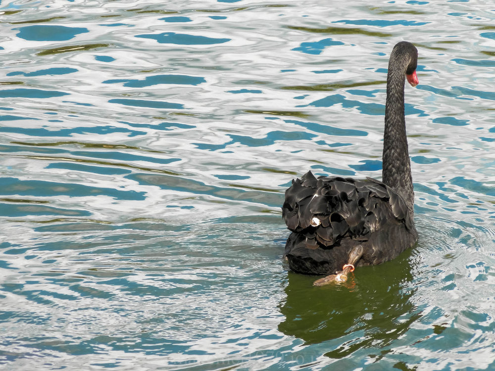 Photo in Nature #swan #black #zoo #nature