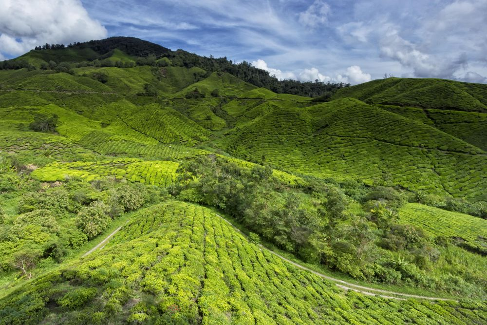 Sungai Palas Boh Tea Plantation! the hilly terrain.. layer upon layer of it by thrumylens