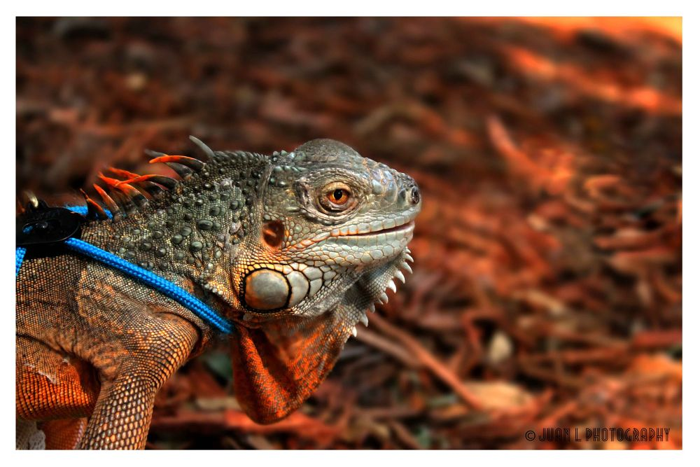 Photo in Animal #iguana #reptile #animal #pet