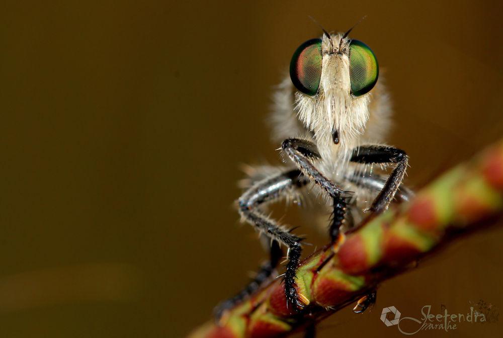 White Bearded Robber Fly by Jeetendra M. Marathe