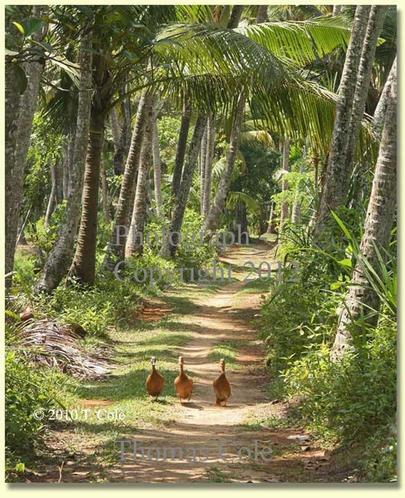 Afternoon Stroll, taken in Kerala, south India, 2010 by tcoletribalrugs
