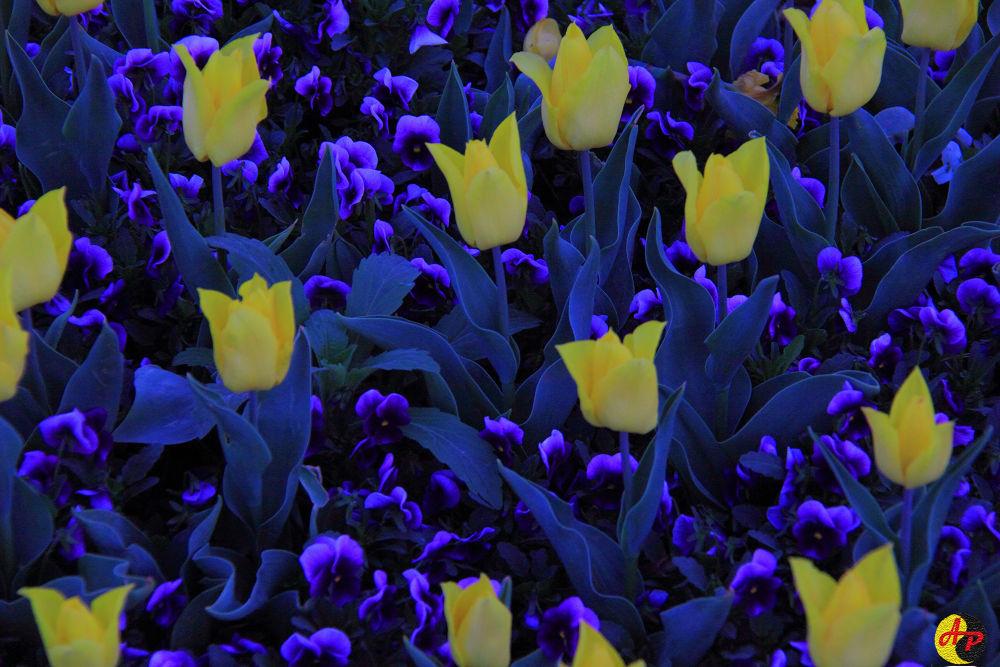 Photo in Random #tulips at night