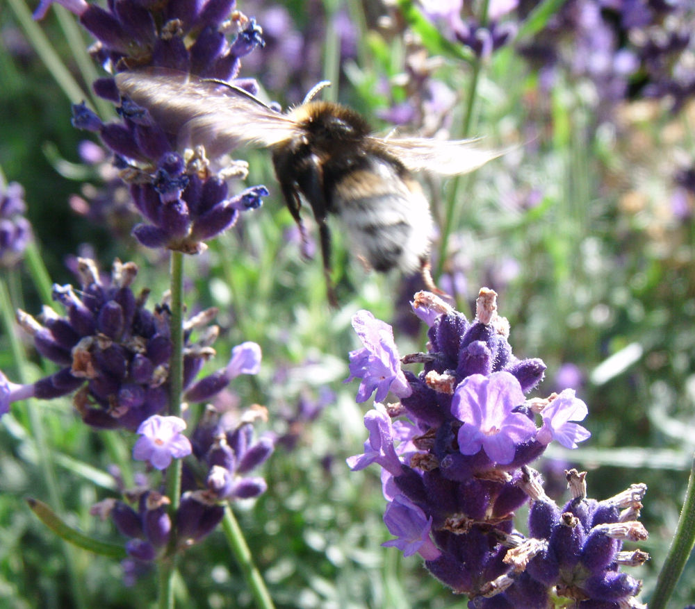 White tailed bee flying by didibergman3