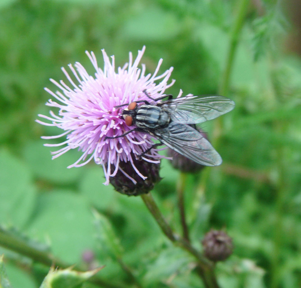 Horsefly on thistle by didibergman3