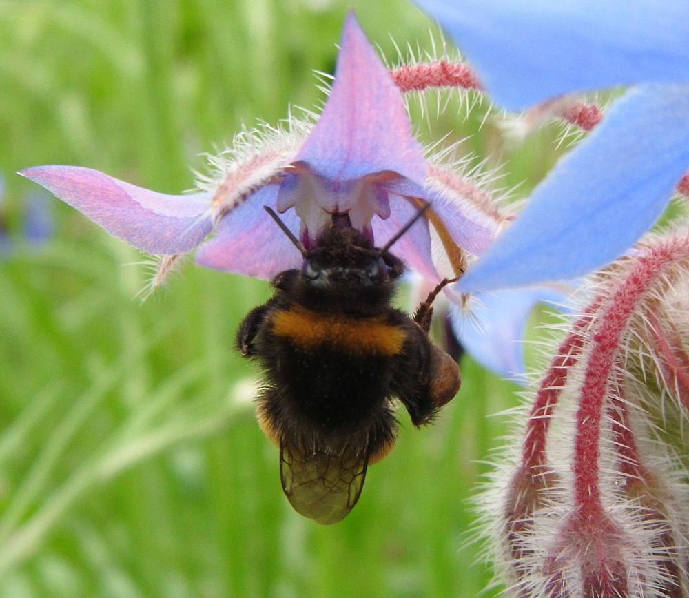 Borage bee at Blackthorn by didibergman3