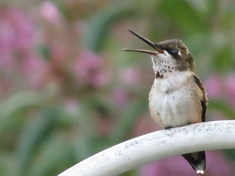 Catching some bugs (ruby-throated hummingbird) by pennieawhite