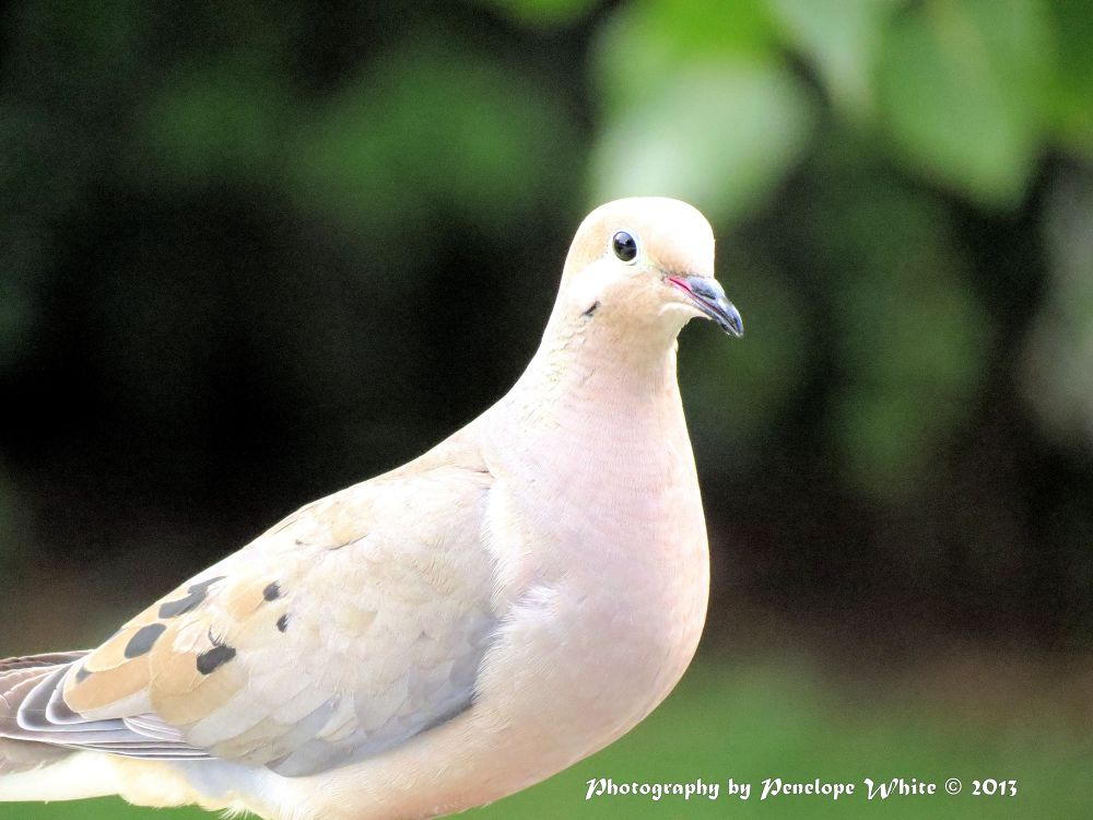Mourning dove by pennieawhite