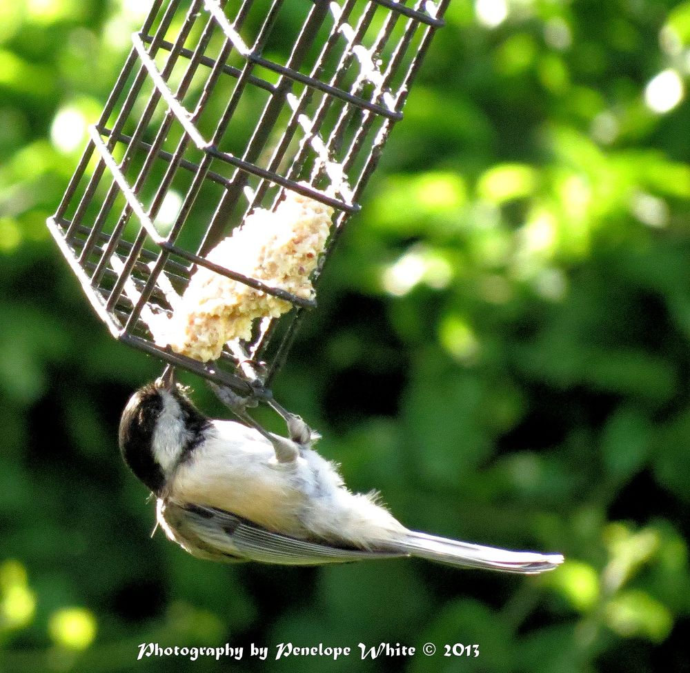 Acrobat with wings (a black-capped chickadee feeding on suet) by pennieawhite