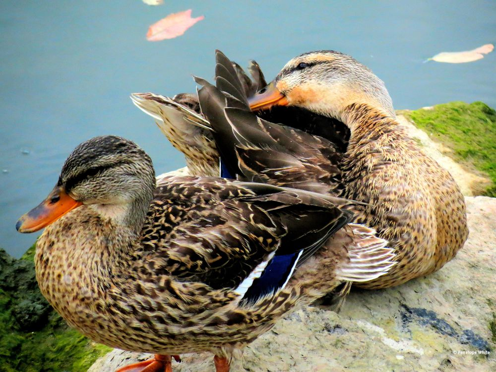 Photo in Random #female mallards #miller road park #lake erie