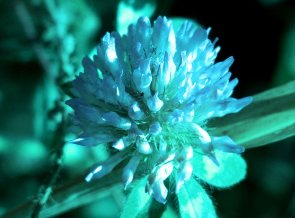 Clover, in a blue mood by pennieawhite