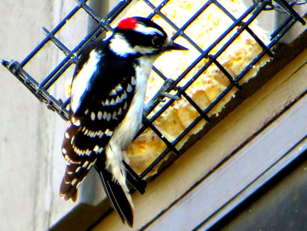 Maile downy woodpecker by pennieawhite