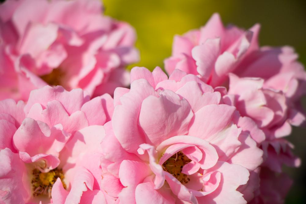 Pink Flowers by Matthew Willsone