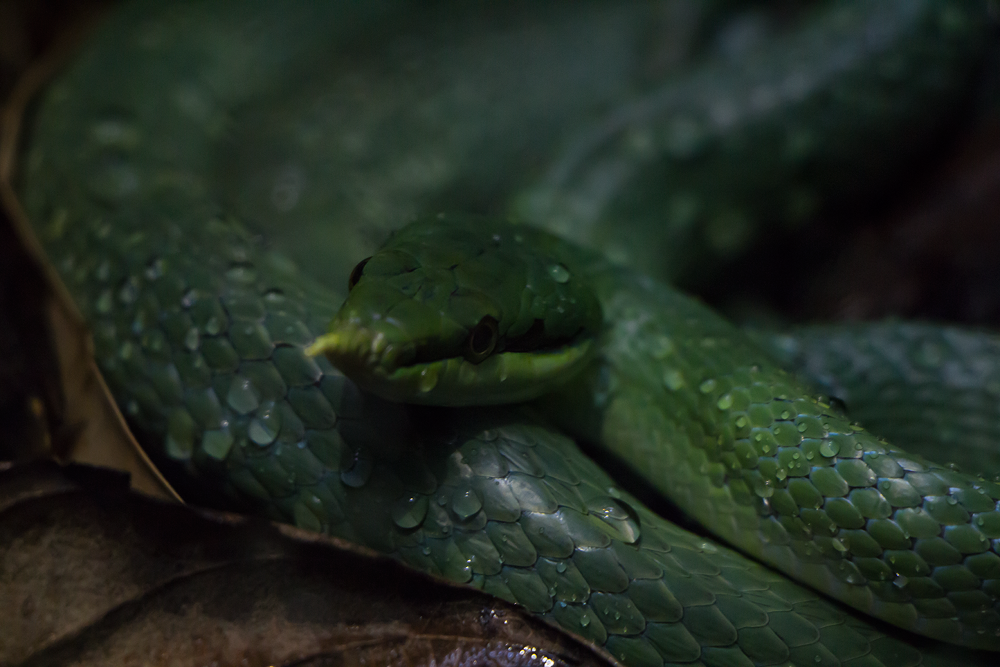 Green Snake by Matthew Willsone