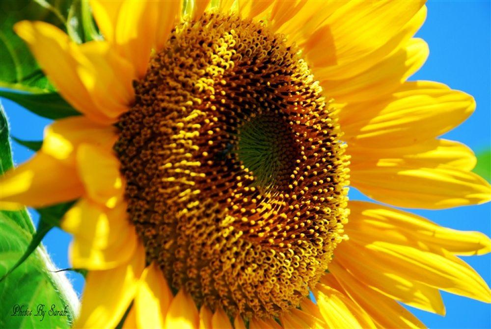 Sunflower 001 copy by rentrop