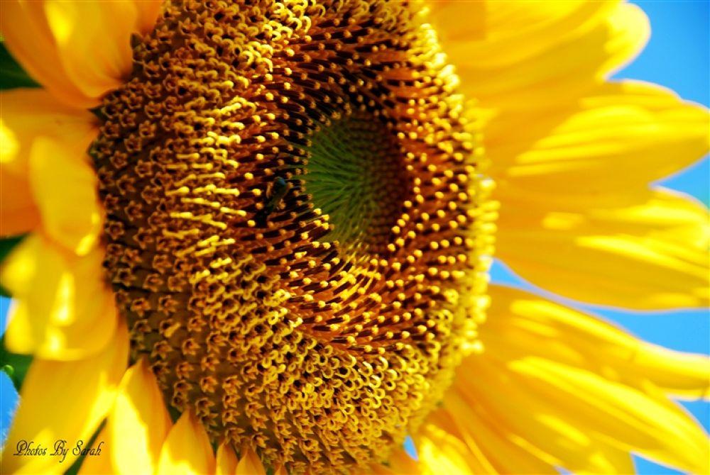 Sunflower 002 copy by rentrop